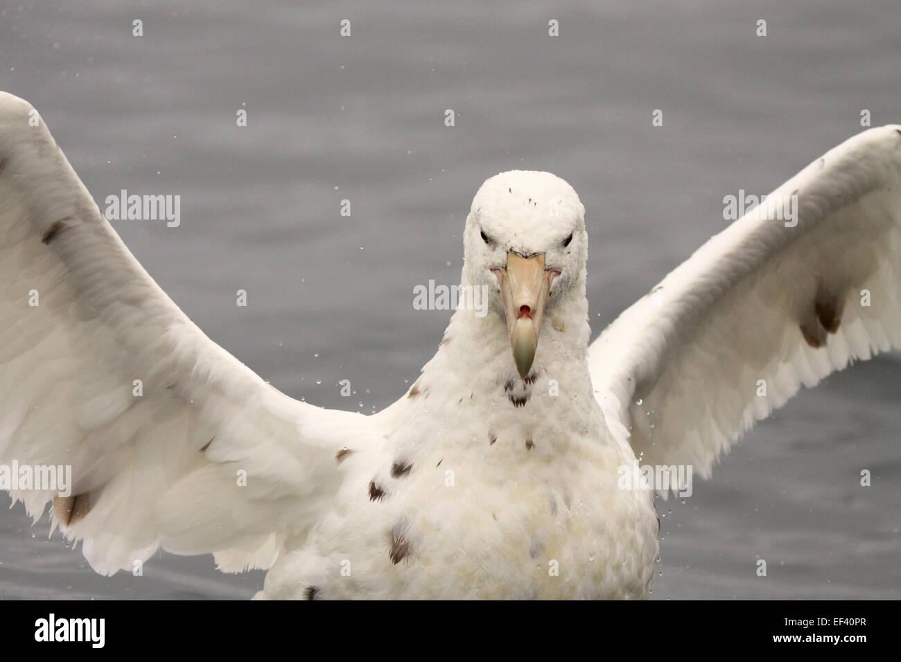 Un albino Petrel Gigante del Sur elevando sus alas en una pantalla de amenazas. Imagen De Stock