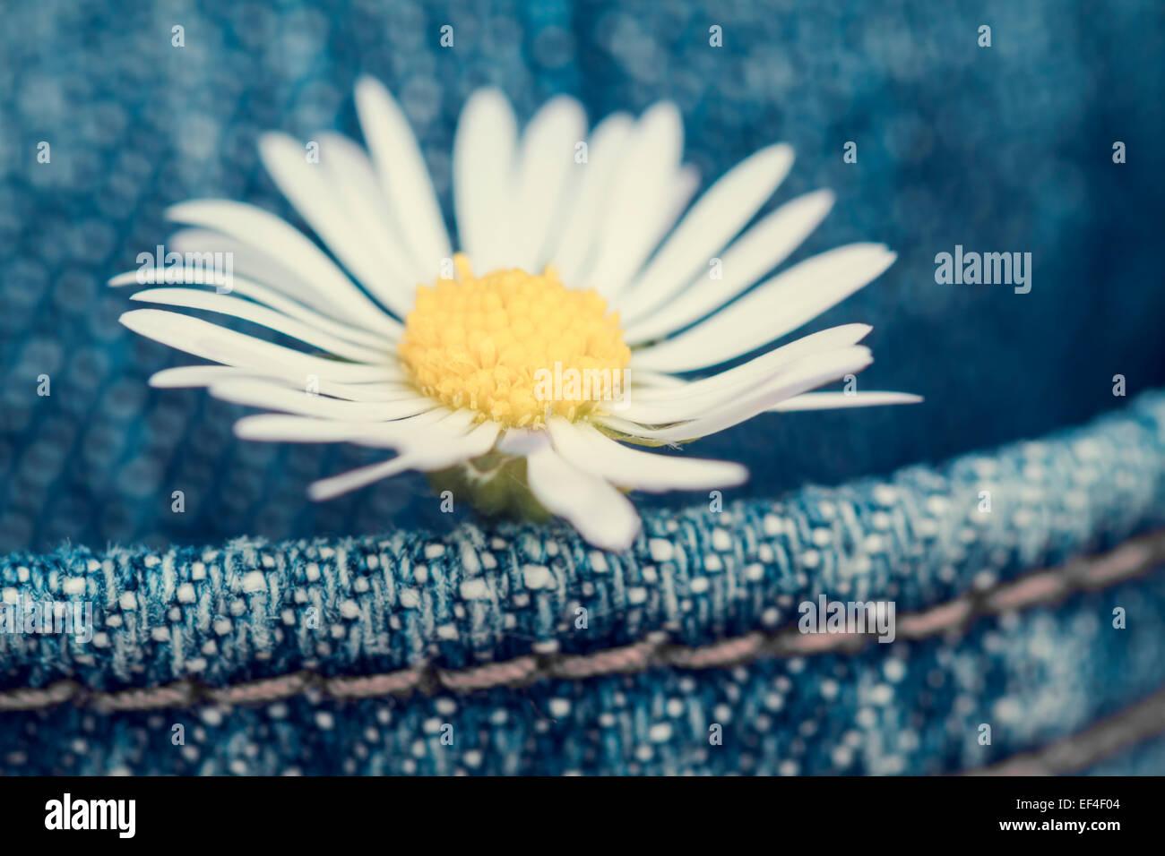 Concepto, flor de margarita en un bolsillo de Jean pantalones Imagen De Stock
