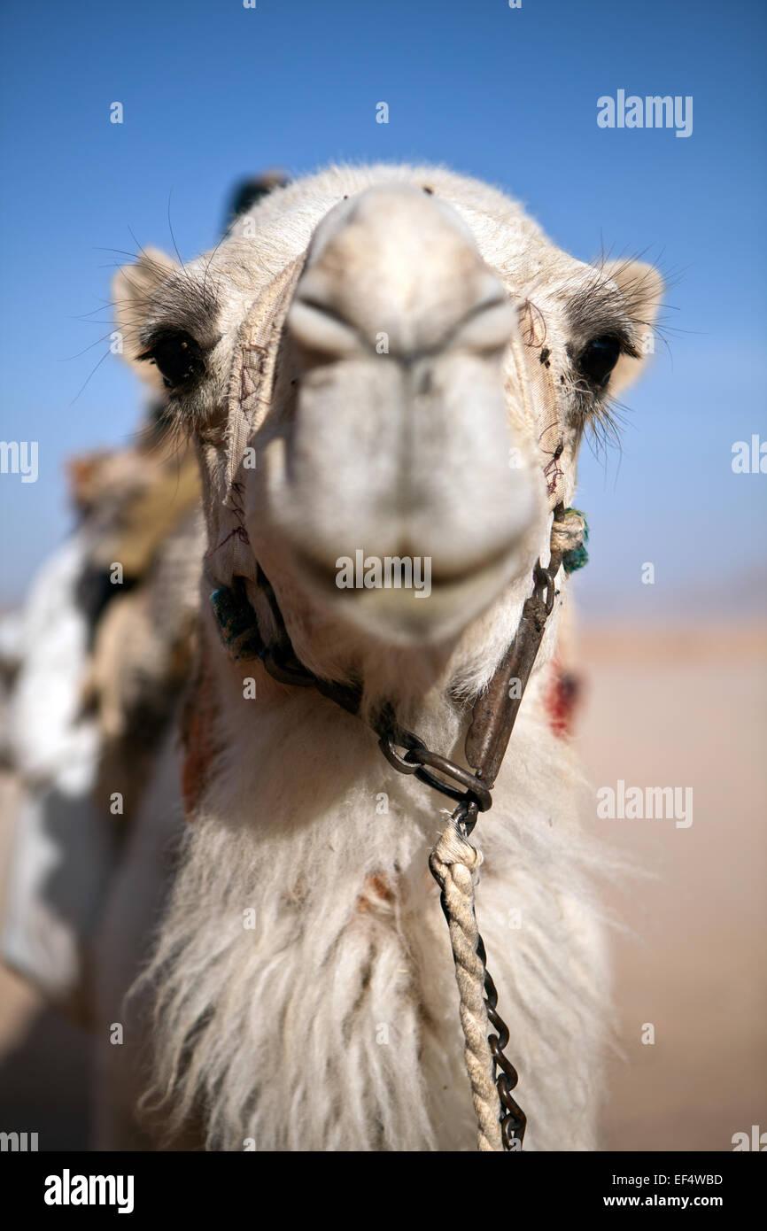Camello Foto de stock