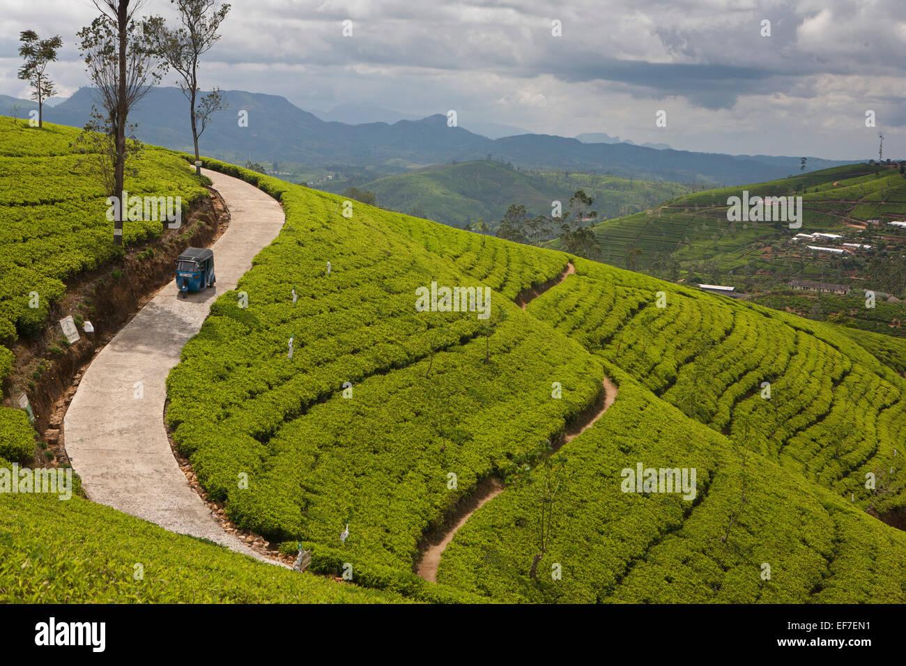 Las plantaciones de té en Nuwara Eliya; sur de la colina de país Imagen De Stock