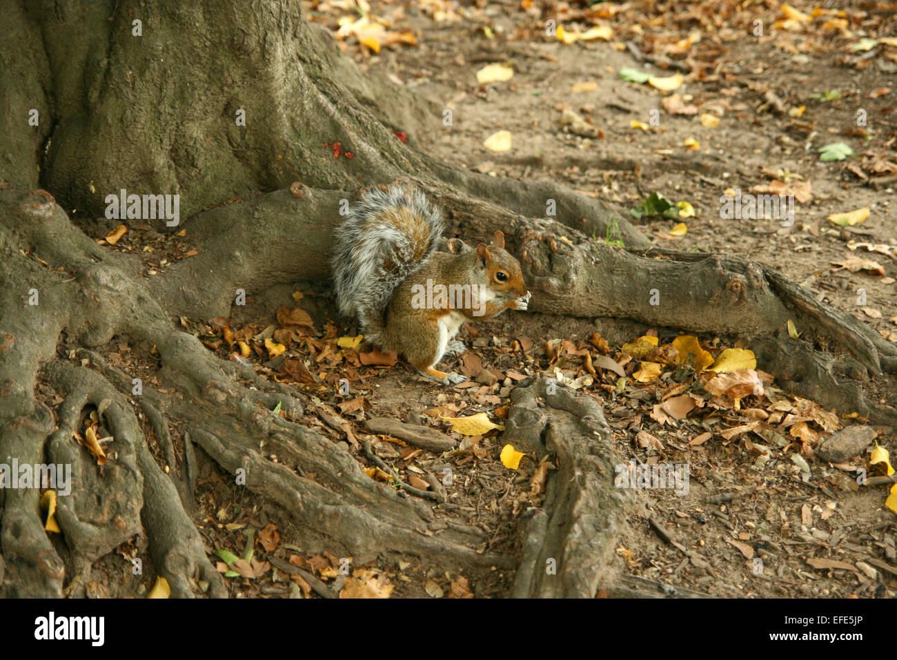 Ardilla Parque Central Foto de stock