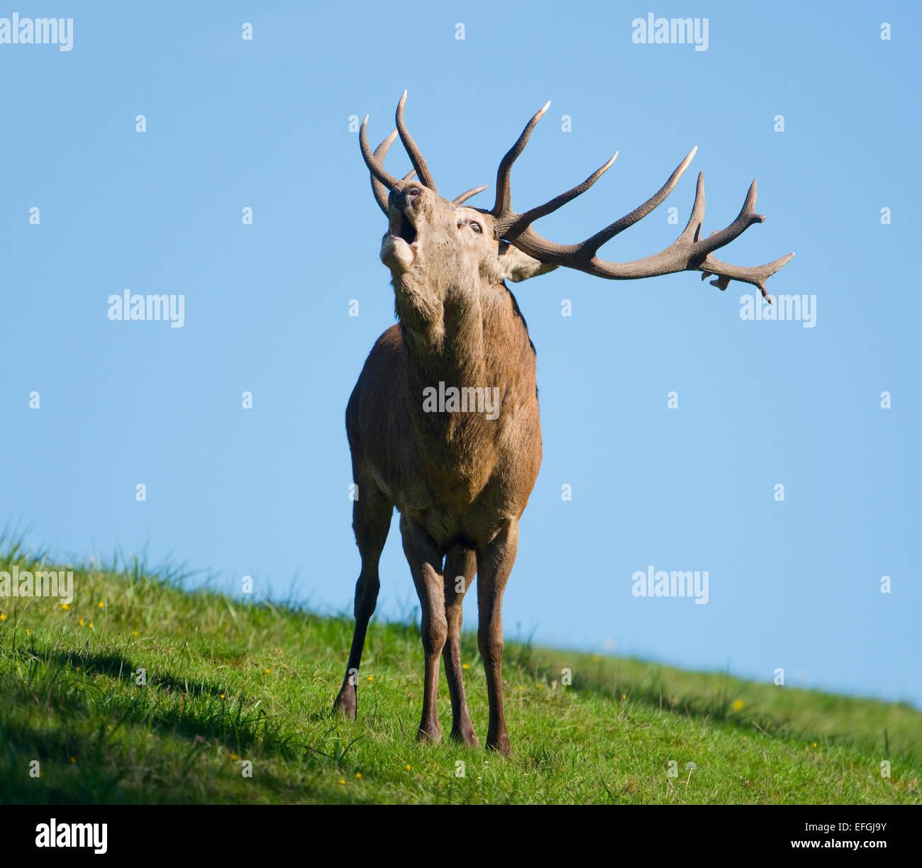 Ciervo rojo (Cervus elaphus), Stag, mugidos durante el badén, cautivo, Baja Sajonia, Alemania Foto de stock
