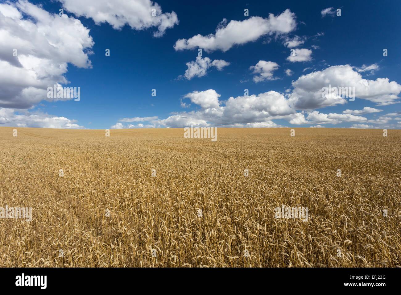 Campo de trigo, granja, Ickleford Cadwell, Hitchin, Herts, England, Reino Unido Imagen De Stock