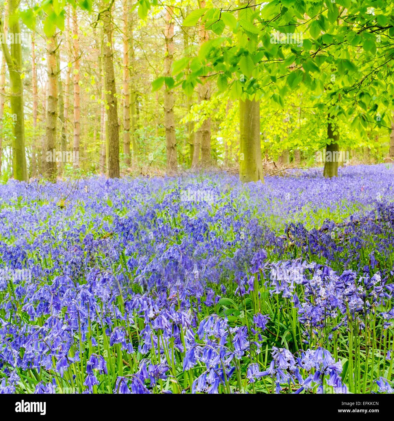 La fotografía de formato cuadrado de un campo de Norfolk bluebell wood Foto de stock