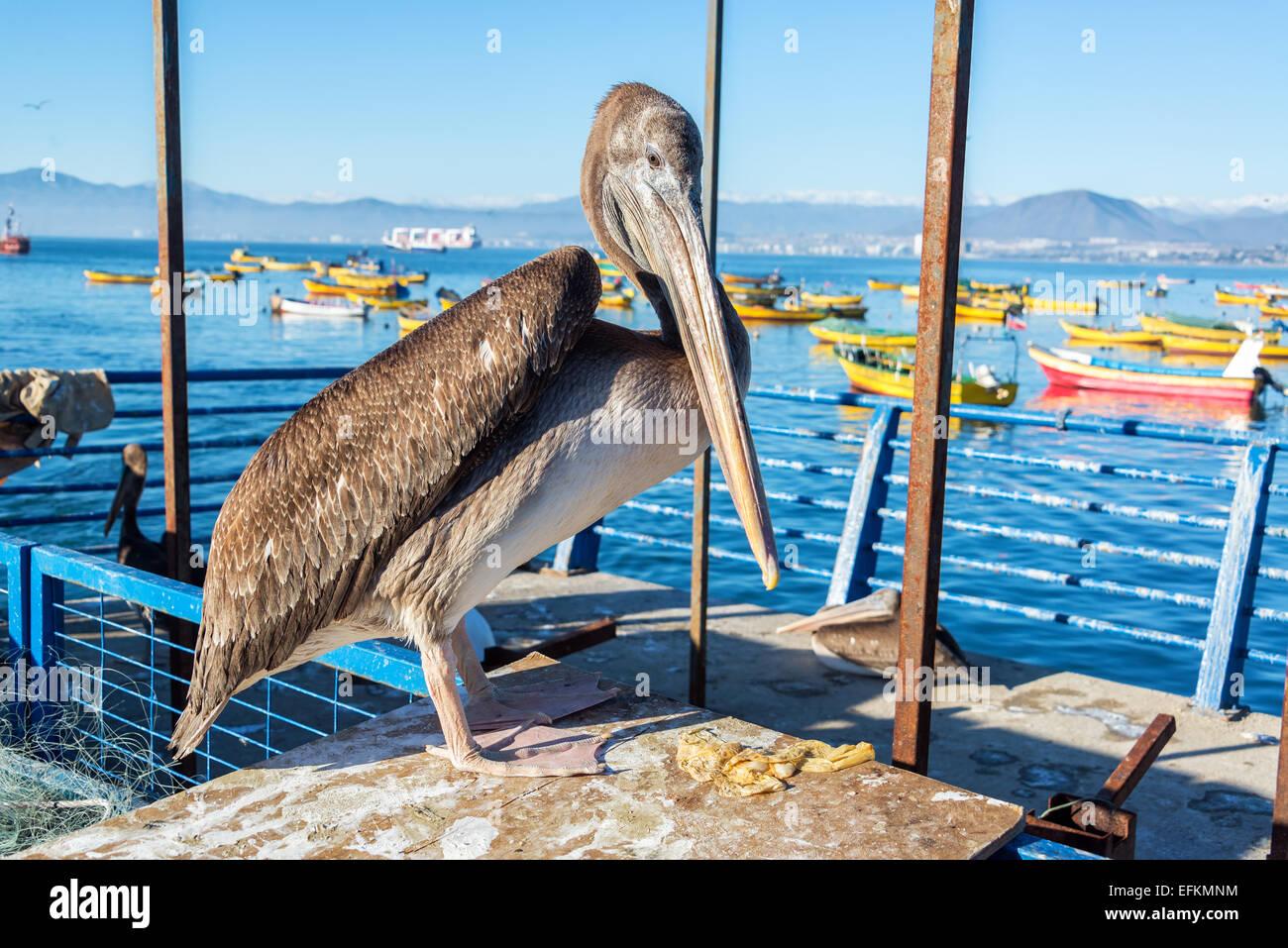 Pelican permanente con coloridos botes en el fondo en Coquimbo, Chile Imagen De Stock