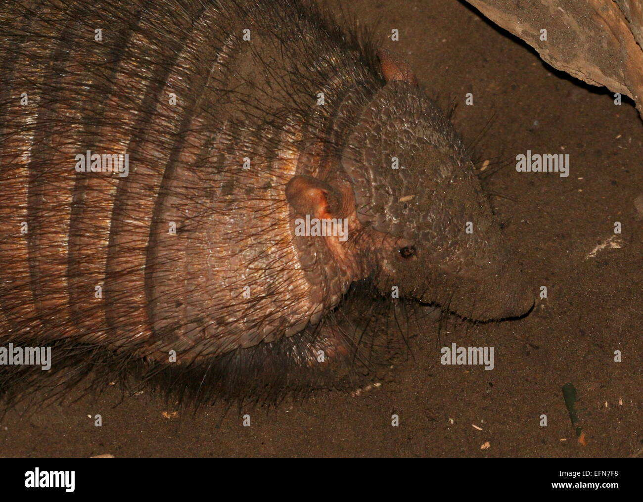 Grandes sudamericanos armadillo peludo (Chaetophractus villosus) cerca de la cabeza y de la parte superior del cuerpo. Imagen De Stock