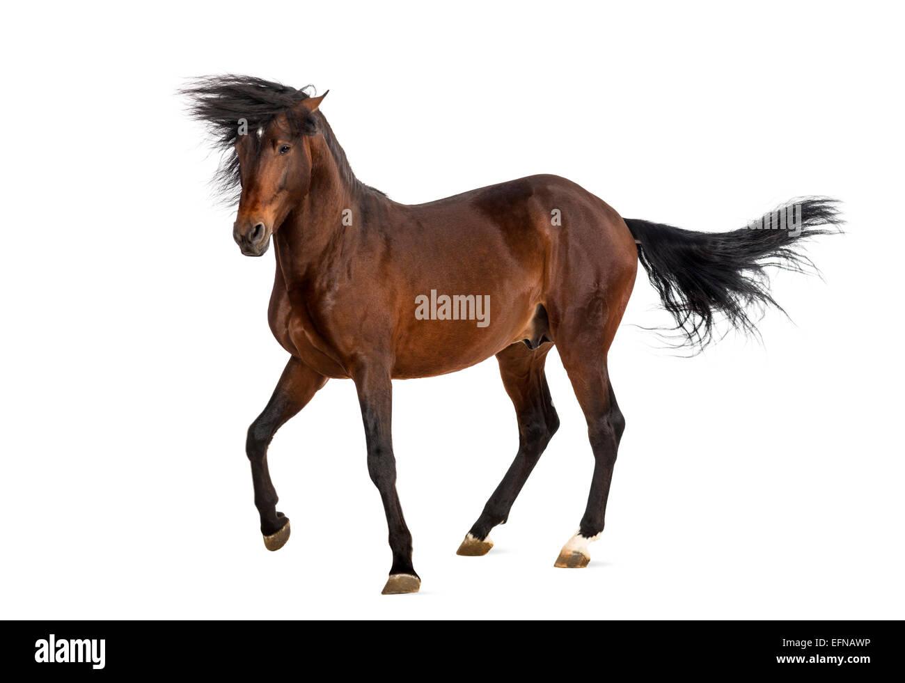 Caballo Andaluz trotting Imagen De Stock