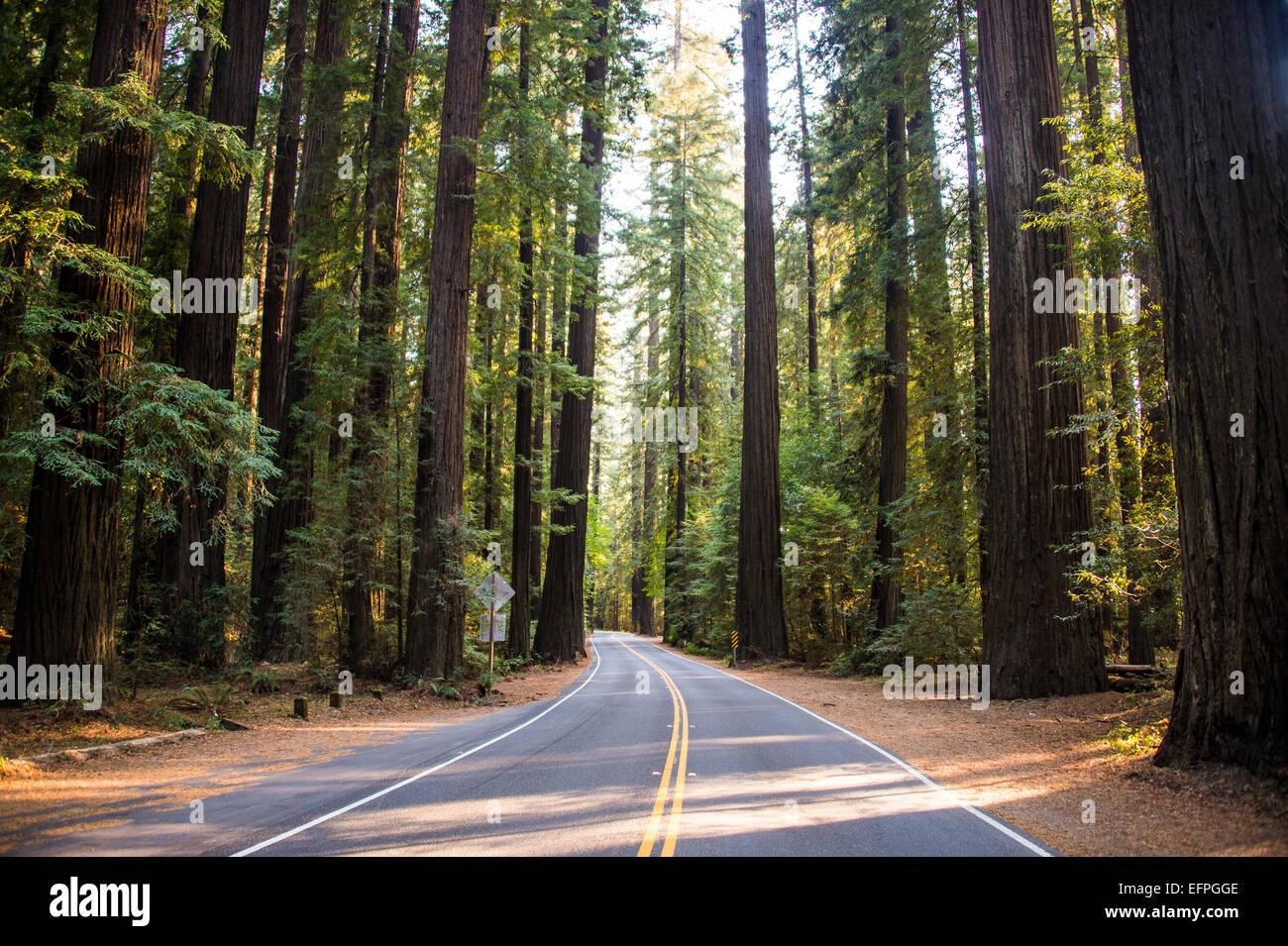 Camino a través de la Avenida de los gigantes, Secoyas Gigantes, en el norte de California, EE.UU. Imagen De Stock
