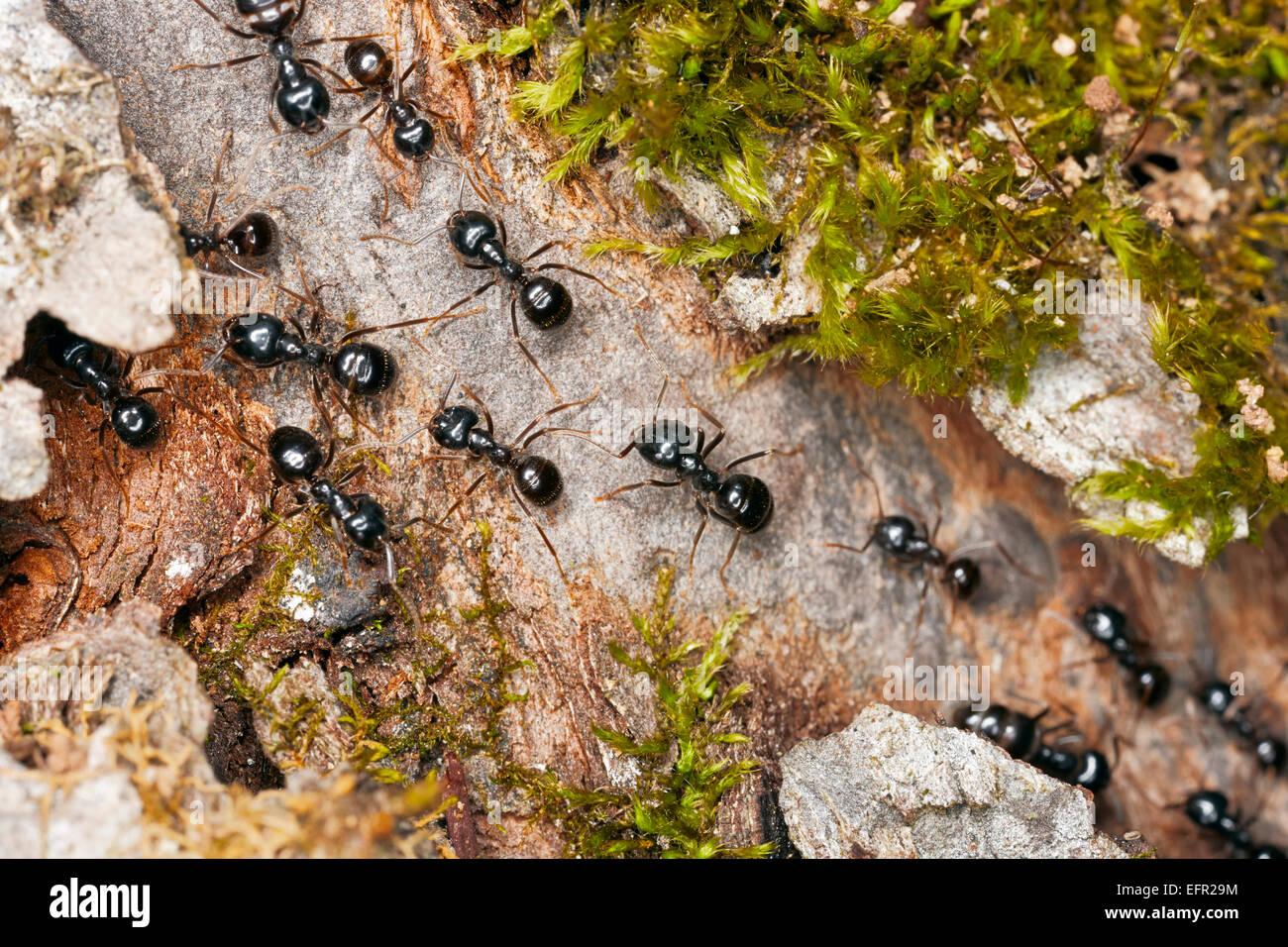 Hormigas Negras De Jardín Imágenes De Stock & Hormigas Negras De ...