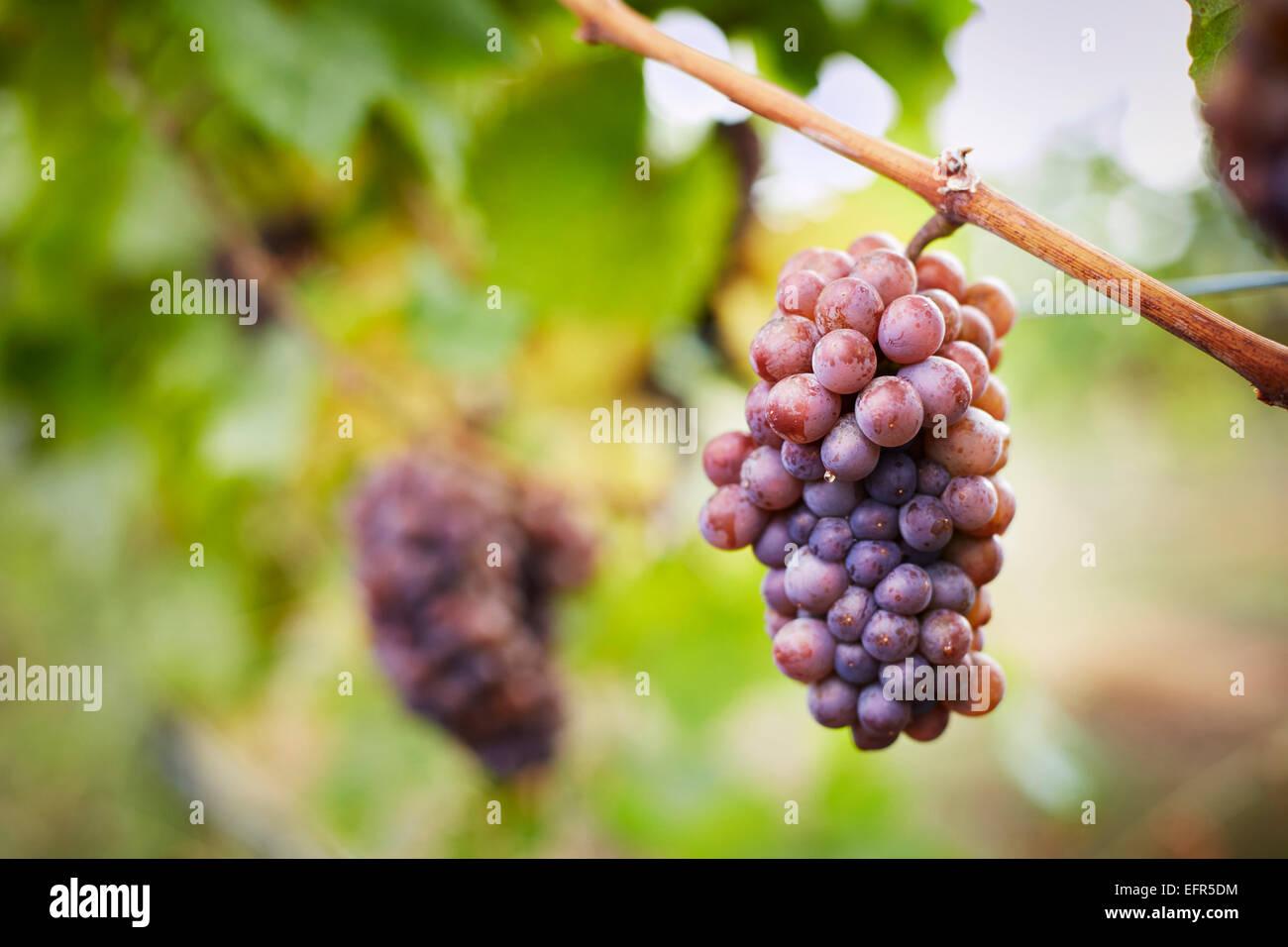 Primer plano de un racimo de uvas rojas en la vid, Kelowna, British Columbia, Canadá Imagen De Stock