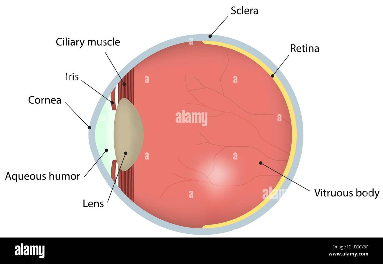 Retina Diagram Imágenes De Stock & Retina Diagram Fotos De Stock - Alamy