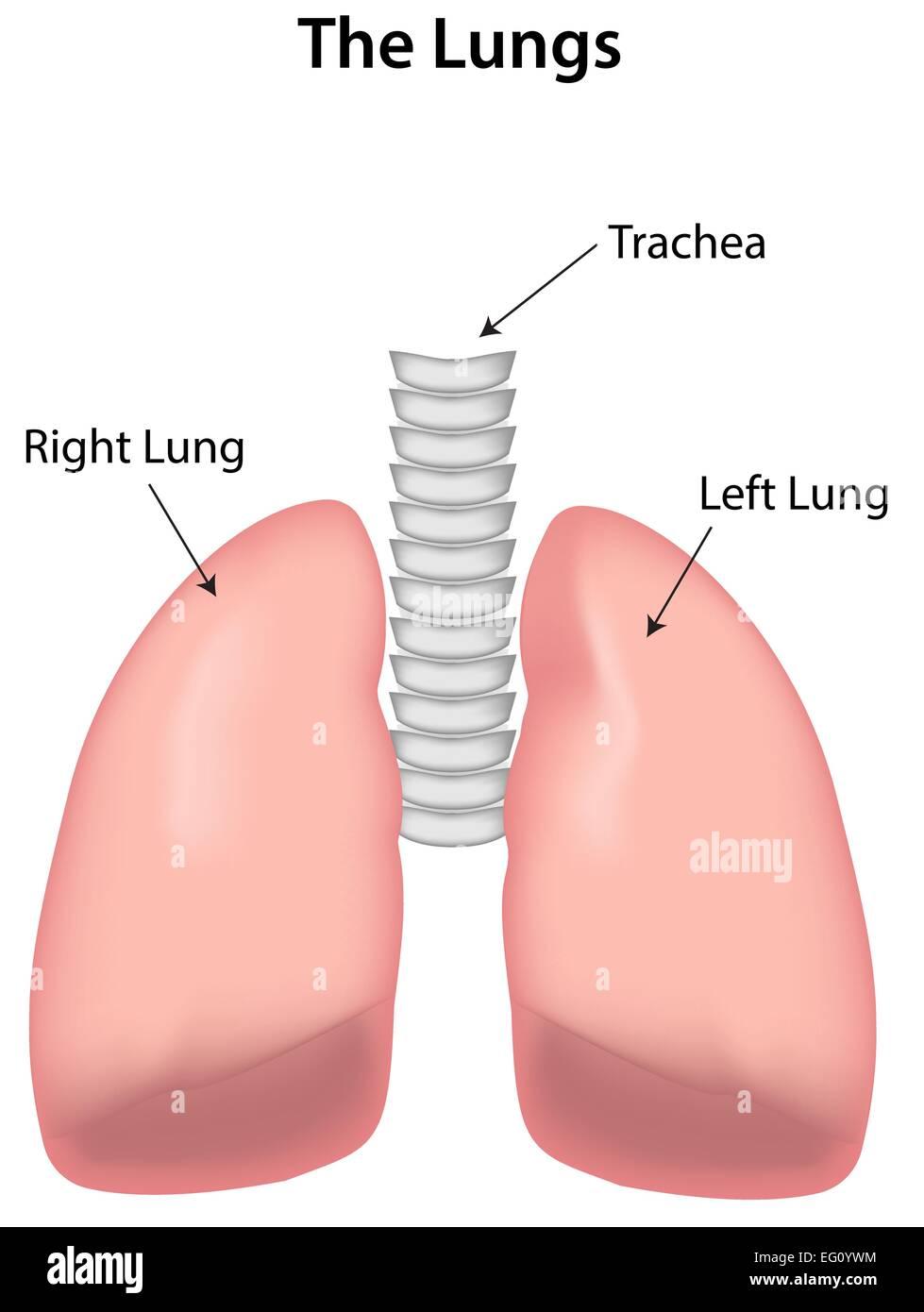 Los pulmones denominada diagrama Ilustración del Vector, Imagen ...