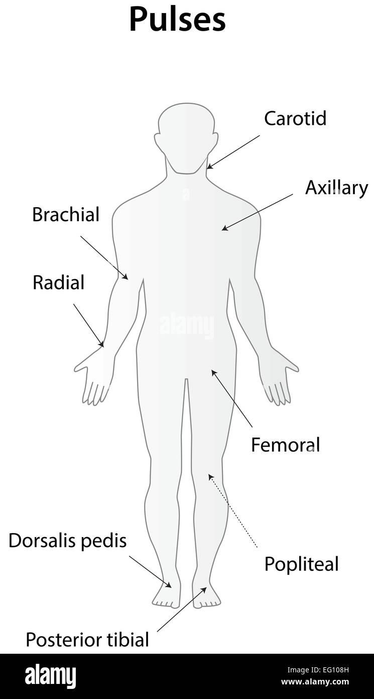 Popliteal Artery Imágenes De Stock & Popliteal Artery Fotos De Stock ...