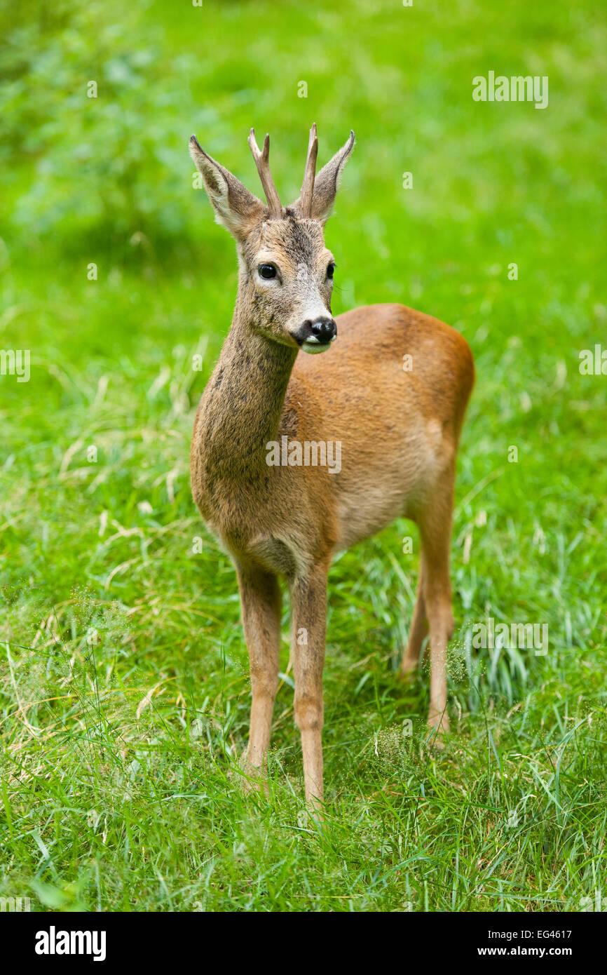 El corzo (Capreolus capreolus), Buck de pie en una pradera, cautiva, Turingia, Alemania Foto de stock