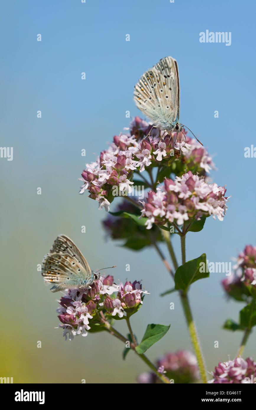 Azul (Polyommatus bellargus Adonis, Lysandra bellargus) chupar néctar de orégano (Origanum vulgare), Turingia, Alemania Foto de stock