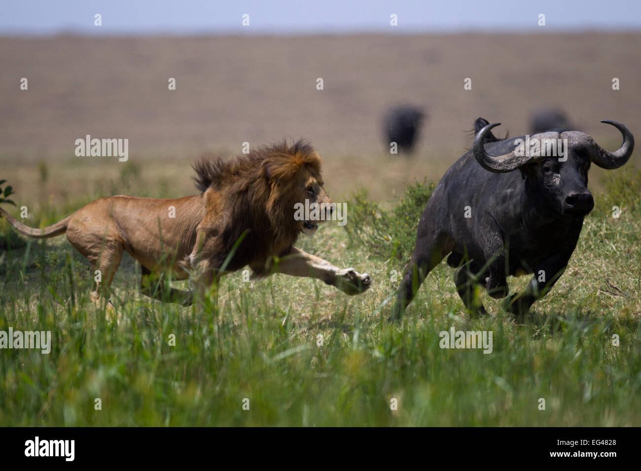León macho (Panthera leo) en la confrontación Cape buffalo (Syncerus caffer). Reserva Nacional de Masai Imagen De Stock