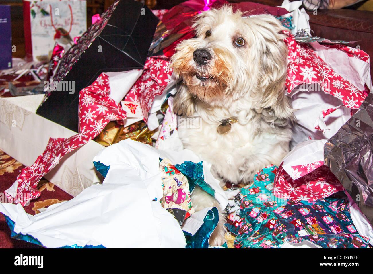 El día de Navidad perro abriendo regalos desenvolver el papel del embalaje de PET Perros Collie barbudo cubierto Imagen De Stock