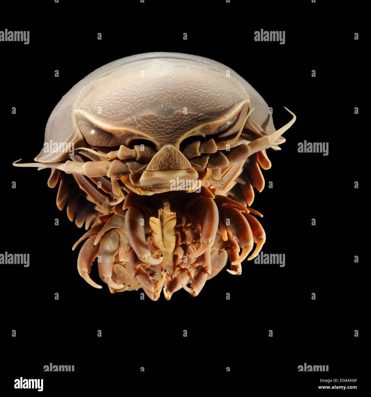 Giant isopod en aguas profundas (Bathynomus giganteus) foto fue tomada en el Museo Zoológico de cooperación universidad Hamburgo Foto de stock