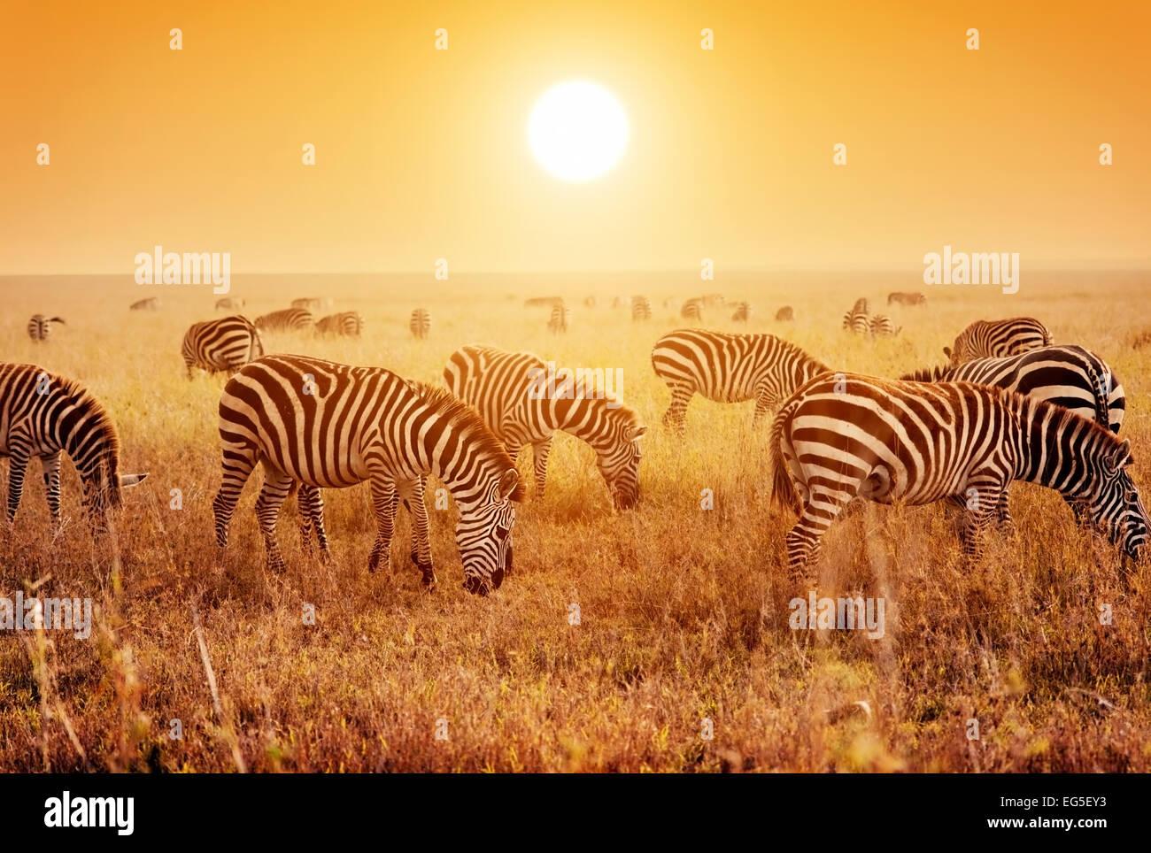 Cebras rebaño en la sabana al atardecer, África. Safari en el Serengeti, Tanzania Imagen De Stock