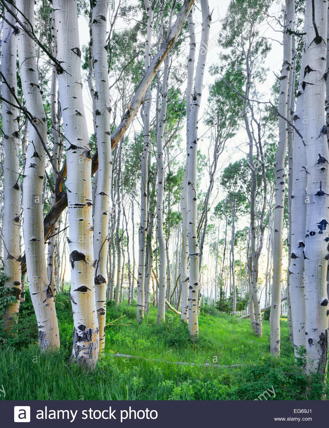 Aspen Grove en las montañas La Sal. En el verano. Manti La Sal National Forest, Utah. Imagen De Stock