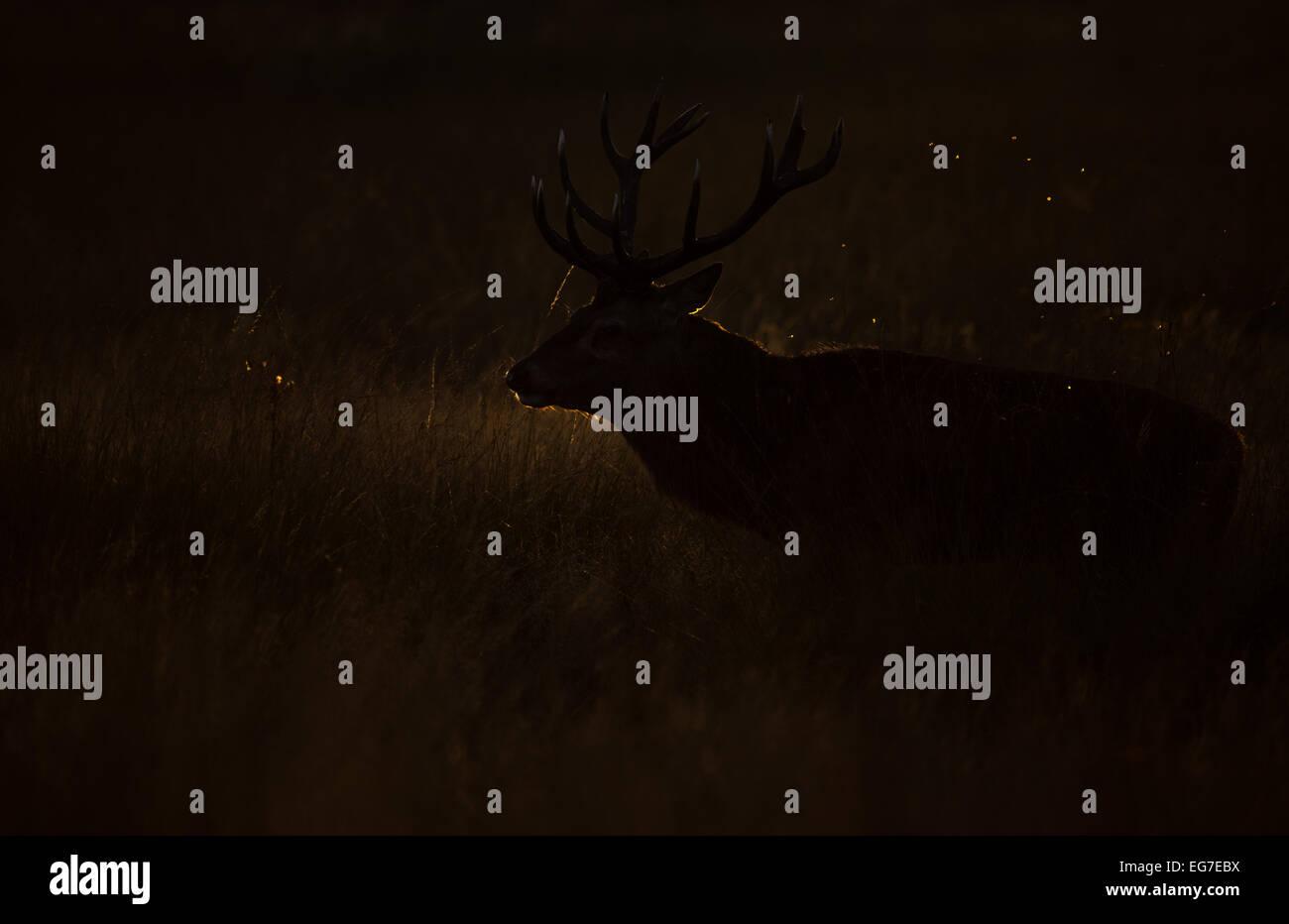 Un ciervo ciervo fotografiado en Richmond Park Foto de stock