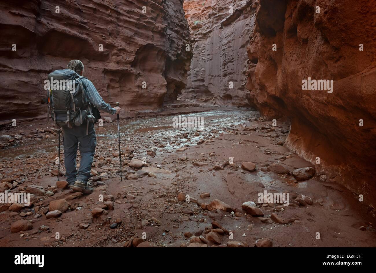 Moab, Utah, EE.UU., caminante en el Profesor Creek Narrows Imagen De Stock
