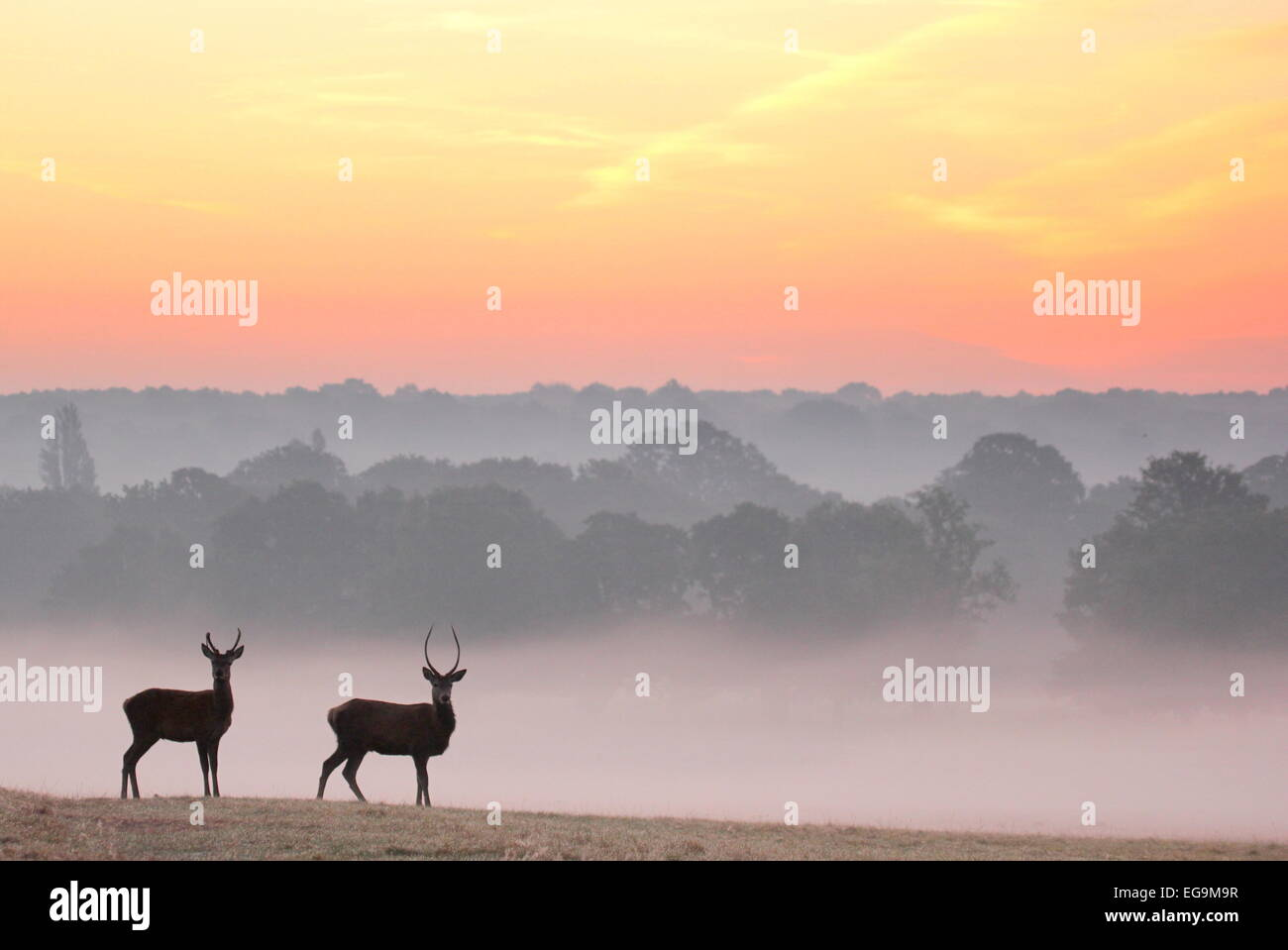 Red Deer stags al amanecer. Richmond Park, Londres, Reino Unido Imagen De Stock