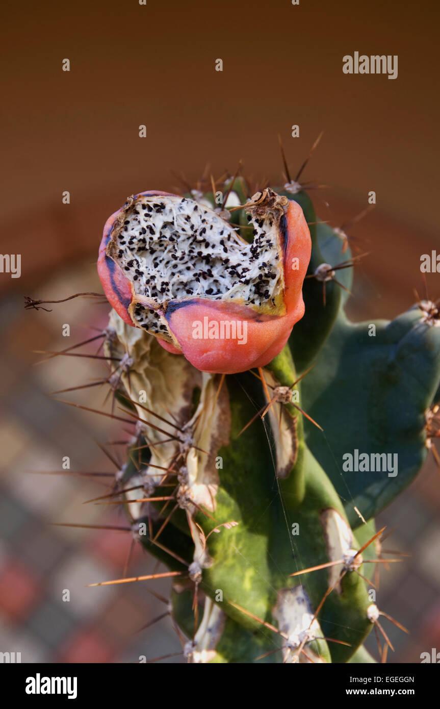 Abrir la vaina de semillas de cactus para mostrar semillas Foto de stock