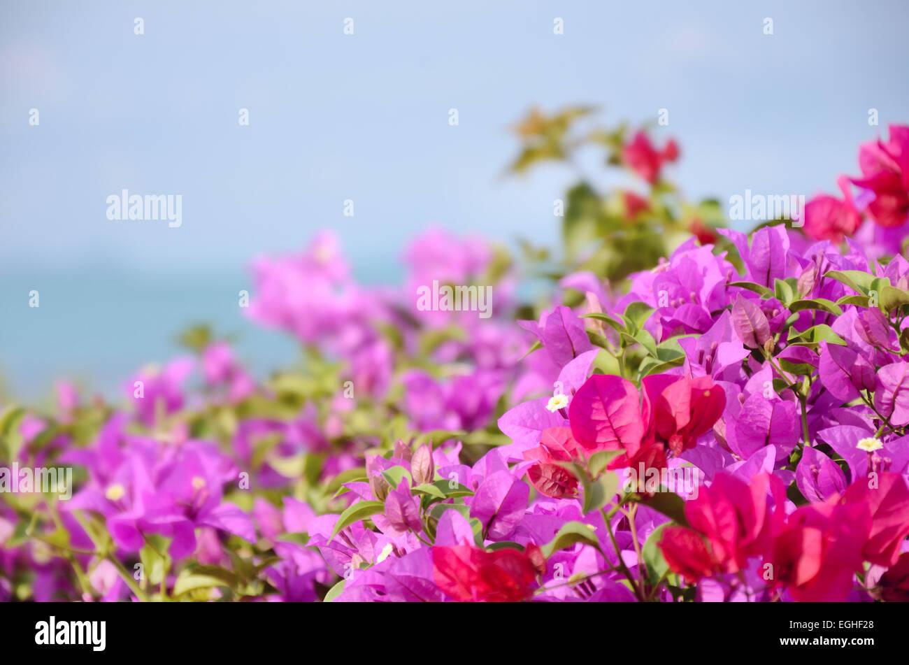 Cierre buganvilla florece en Tailandia Foto de stock