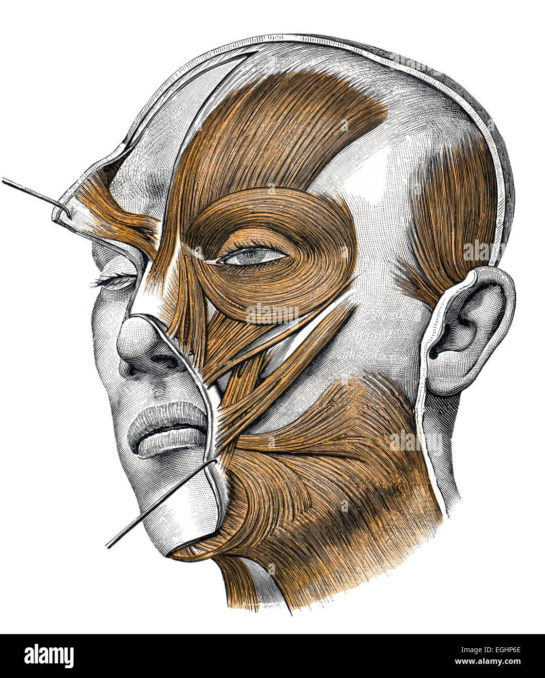 músculos miméticos Imagen De Stock