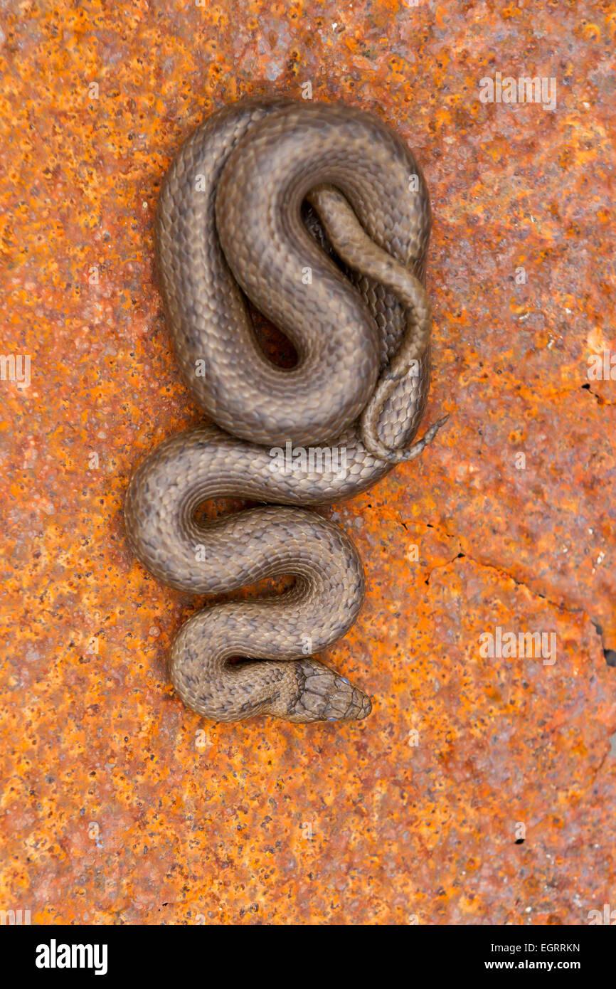 Culebra lisa Coronella austriaca (bajo licencia), macho adulto, enrollado en la hoja de metal oxidado, Arne, Dorset Imagen De Stock