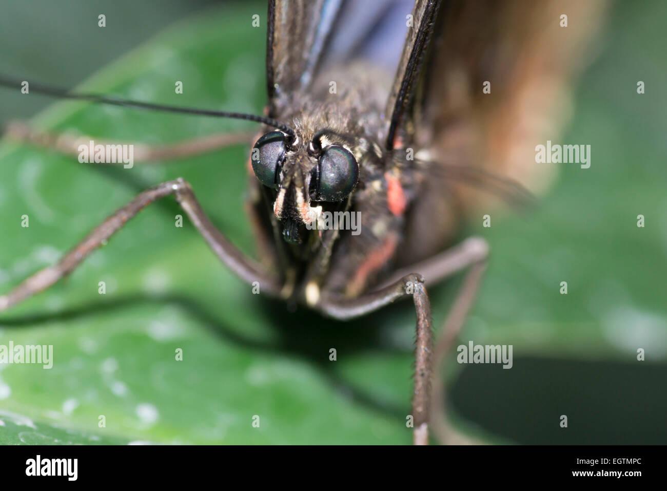 Macro cierre butteryfly tropical Foto de stock