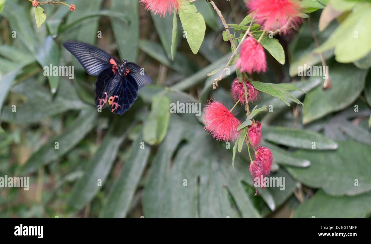 Butteryfly tropical en vuelo Foto de stock