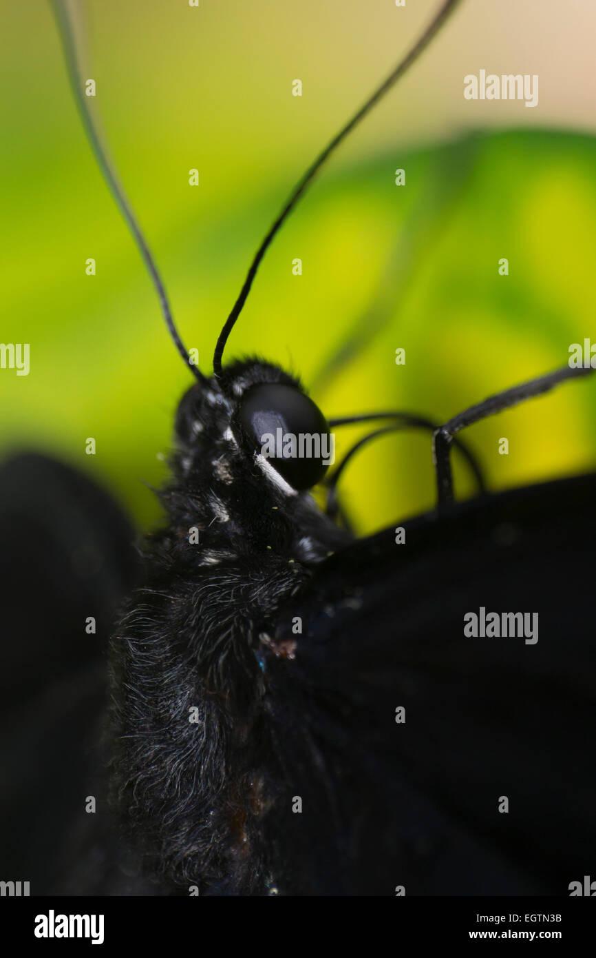 Cierre Butteryfly macro Foto de stock