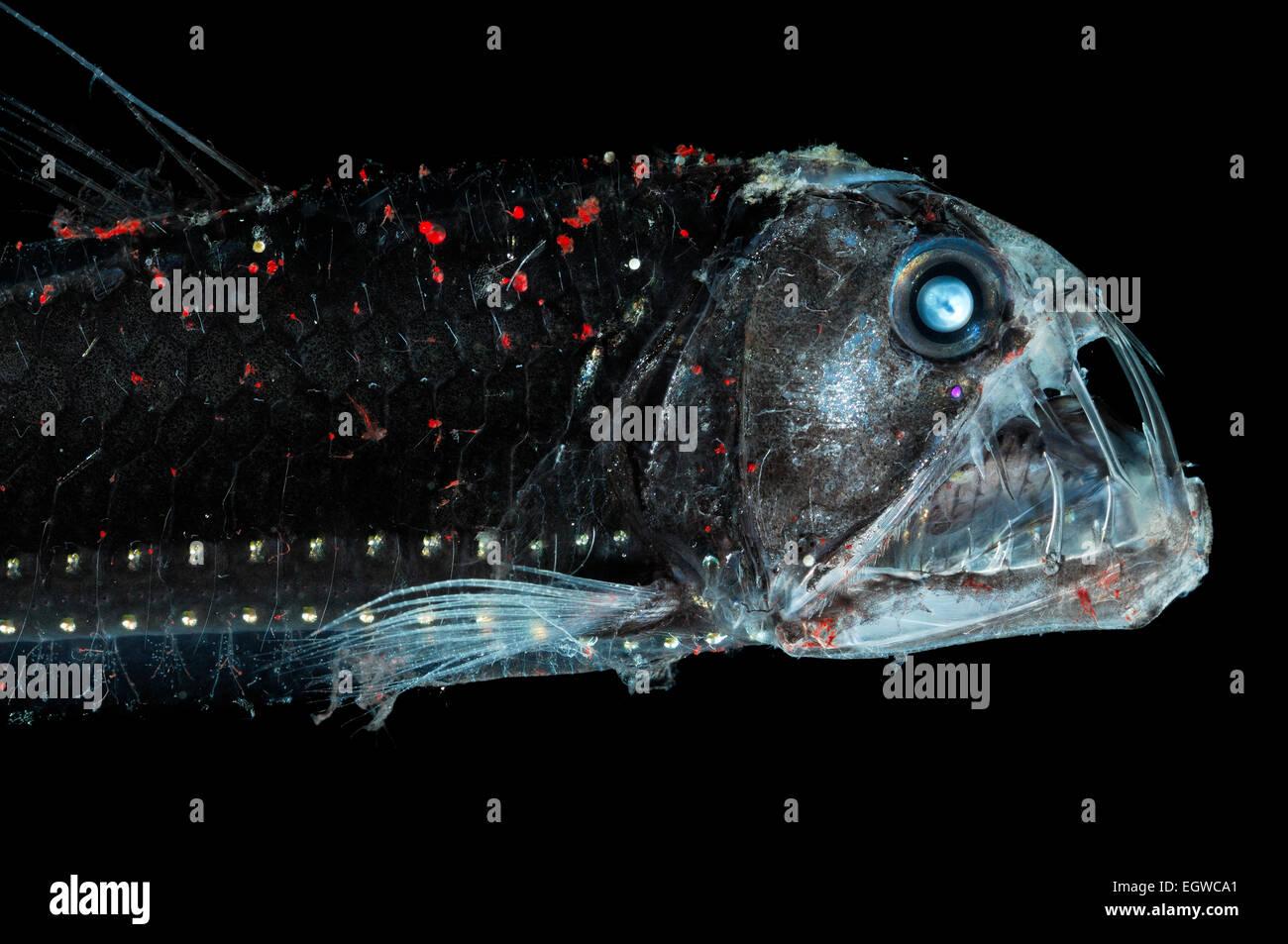 El mar profundo viperfish (Chauliodus sloani) es de aproximadamente 30 cm de largo y vive dentro de la parte superior a 1000 m de la columna de agua. Durante d Foto de stock