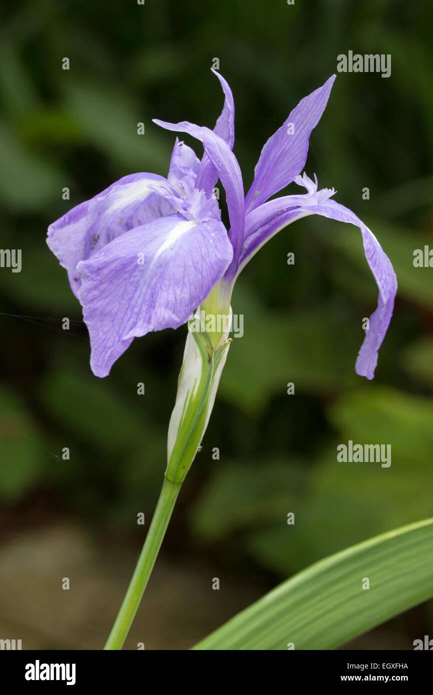 A principios de verano delicada flor del lirio acuático, Iris laevigata 'Variegata' Imagen De Stock
