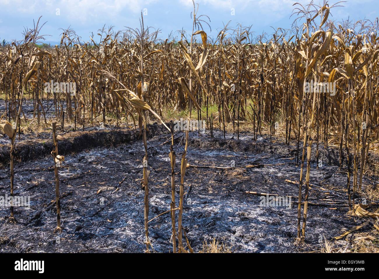 Muertos campo de maíz seca en Bali.Indonesia. Foto de stock