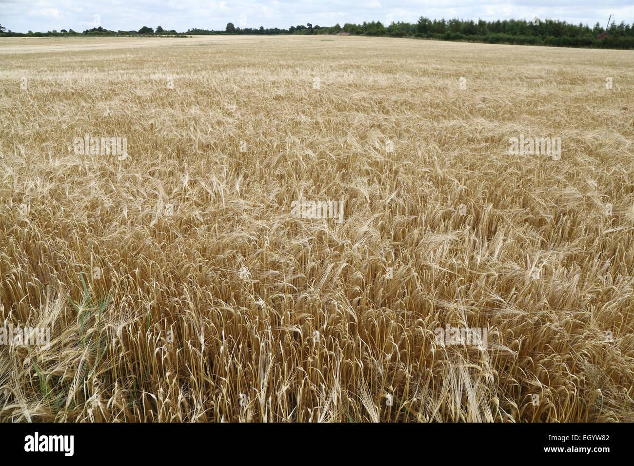 Campo de cebada, Leicestershire Imagen De Stock