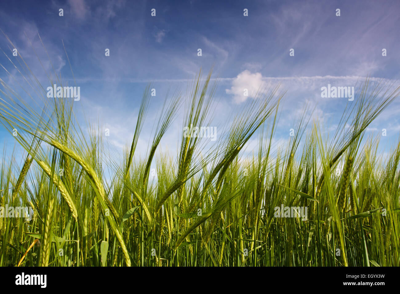 Cerca de espigas de cebada crece en un campo de Norfolk. Imagen De Stock