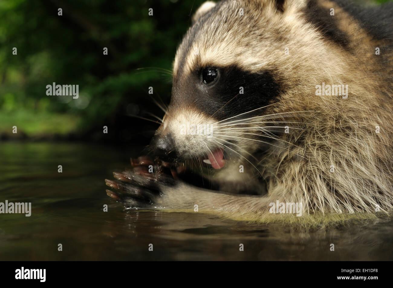 [Cautivo] mapache (Procyon lotor) | Waschbär (Procyon lotor) Imagen De Stock