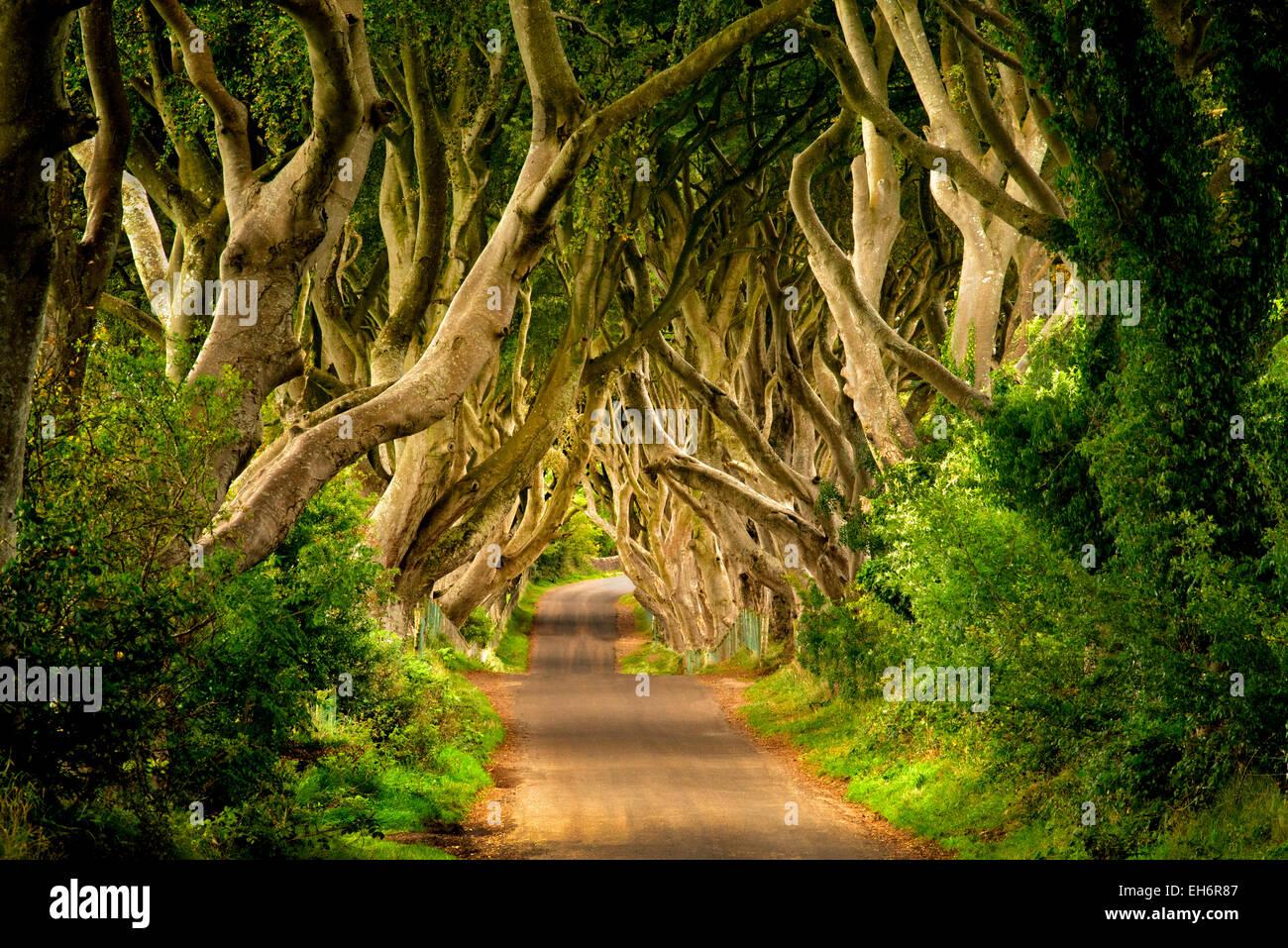 La oscuridad de setos. Beech Rural carretera arbolada en Irlanda. Foto de stock