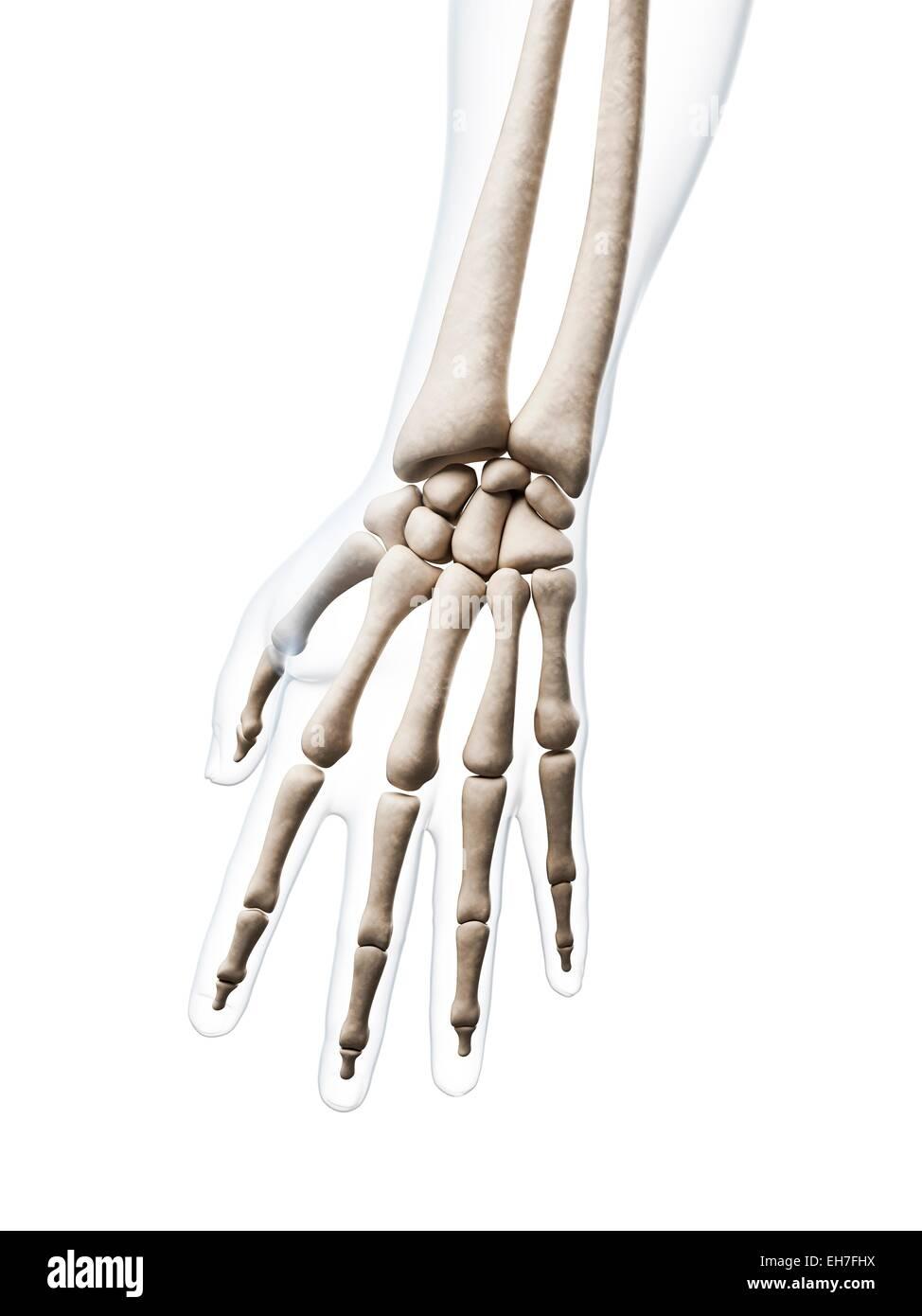 Excelente Imágenes De Los Huesos De La Mano Humana Regalo - Imágenes ...