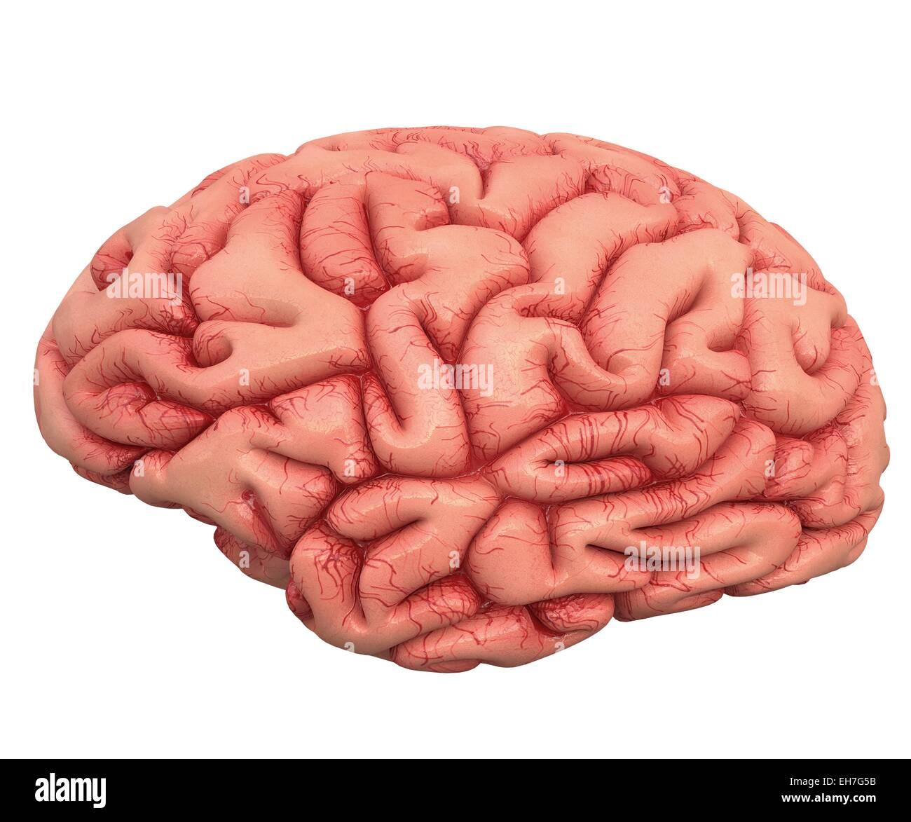 Cerebro Humano, obras de arte Foto de stock