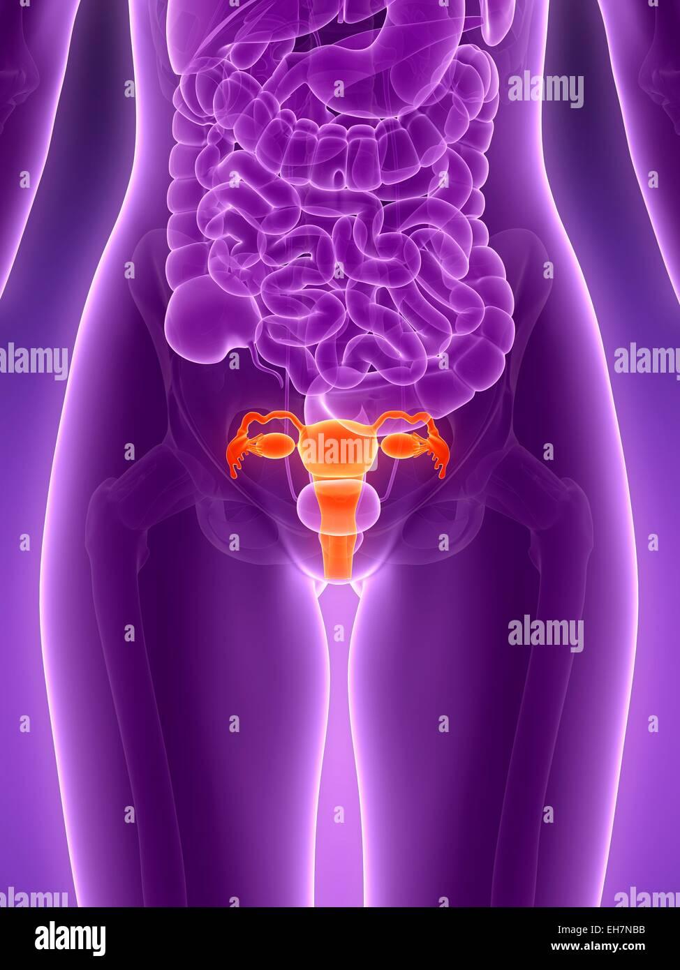 Anatomía del útero humano, ilustración Foto & Imagen De Stock ...