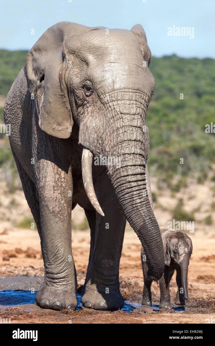 El elefante africano (Loxodonta africana) adulto y bebé, Parque Nacional Addo, Eastern Cape, Sudáfrica, Imagen De Stock