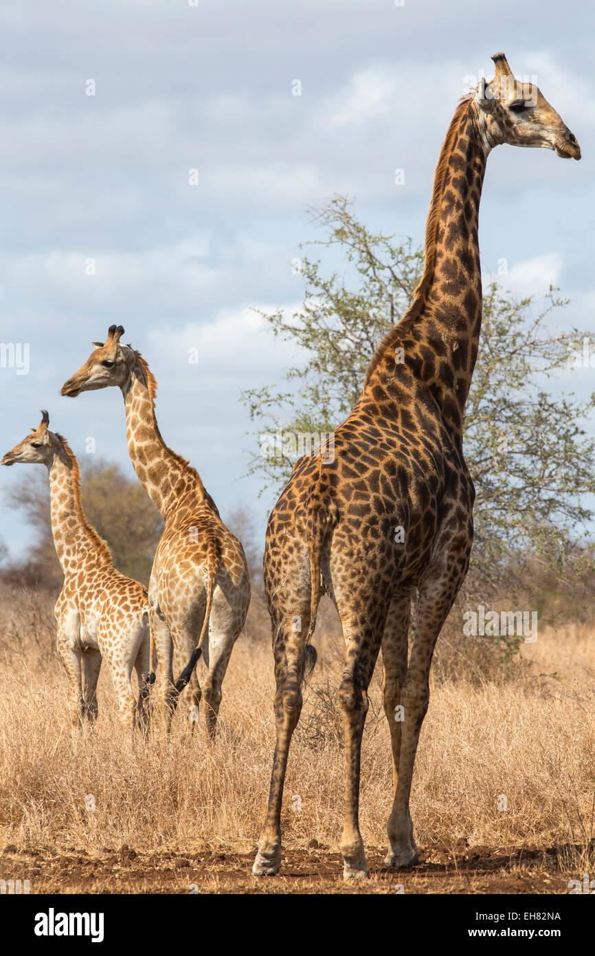 Jirafa (Giraffa camelopardalis), el Parque Nacional Kruger, Sudáfrica, África Imagen De Stock