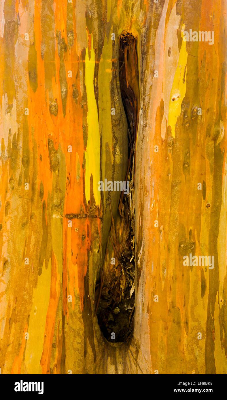 Cerca de el colorido de la corteza y el tronco del árbol de eucalipto arcoiris en Keahua Arboretum de Kauai, Imagen De Stock