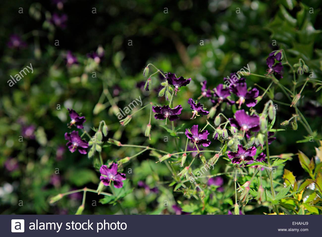 Geranium Phaeum Var Phaeum Flores Negras Syn Geranium Phaeum