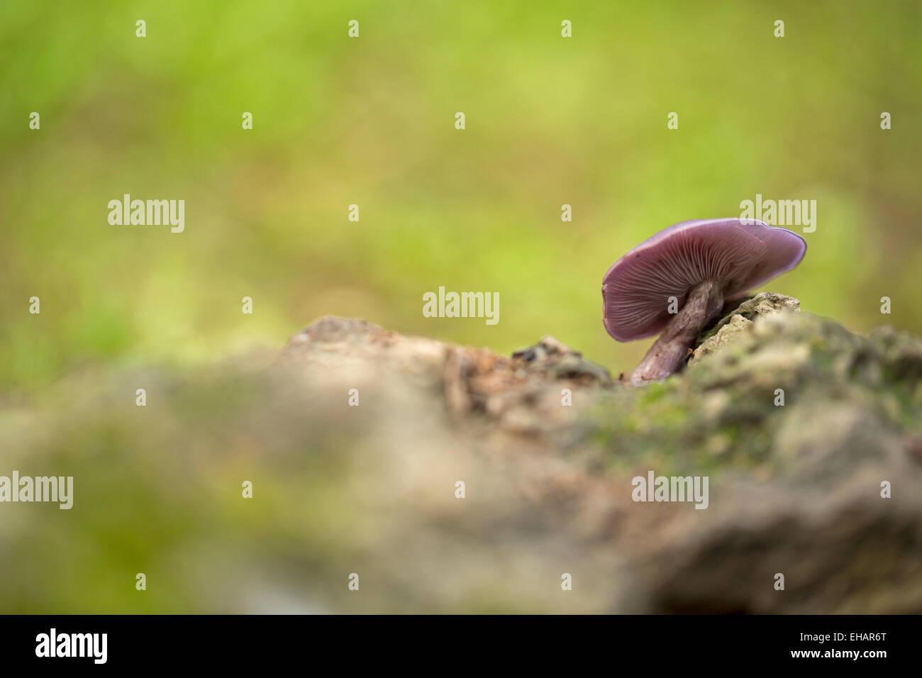 Lepista nuda (también reconocido como Clitocybe nuda y Tricholoma nudum, y conocido como la madera o tallos azul mushro blewit Foto de stock