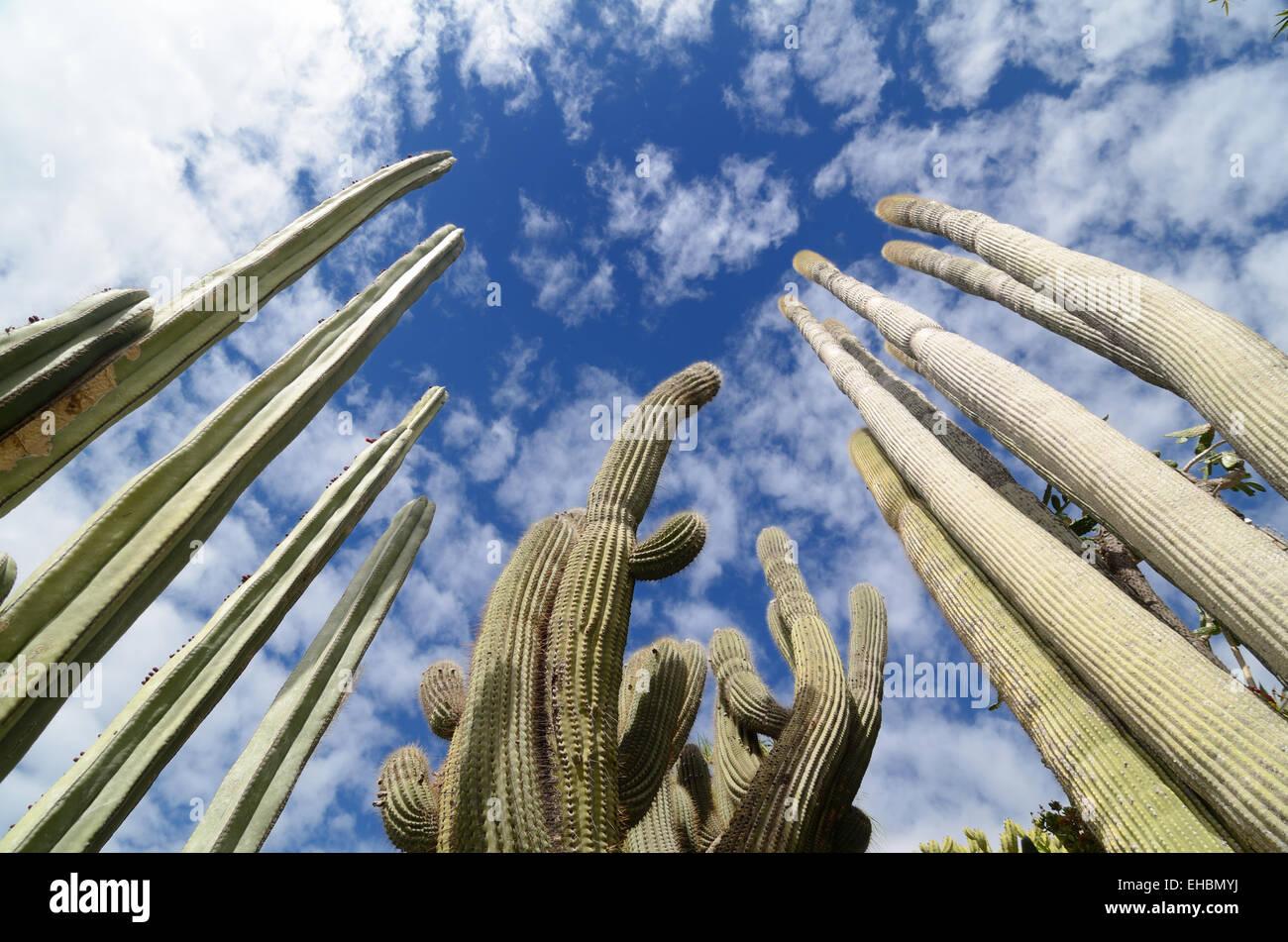 Cactáceas o cactus en los exóticos jardines o Jardin Exotique de Monaco Monaco Jardín Botánico Foto de stock